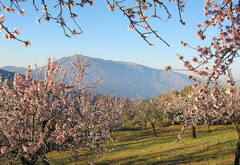 Cherry blossom in the Alpujarras region