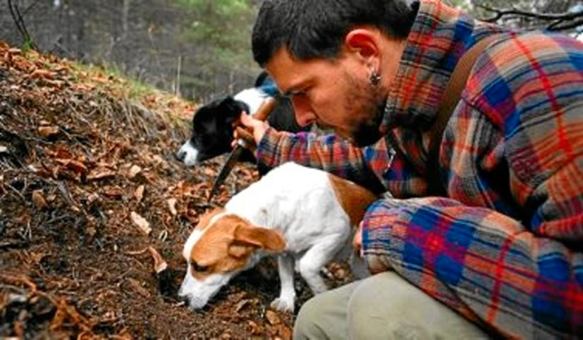 searching truffles with dogs
